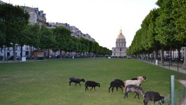 Installation de moutons devant les Invalides à Paris.